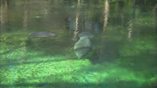 manatees mother and calf playing, florida, north atlantic ocean  - lamantino video stock e b–roll