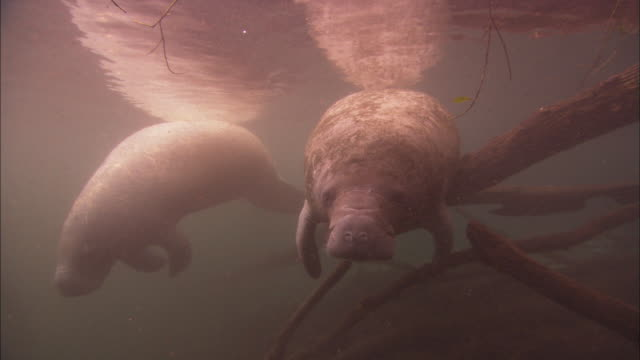manatees rest near branches, florida, north atlantic ocean  - north atlantic ocean stock videos & royalty-free footage