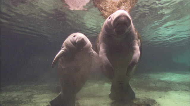 manatees surfacing, sucking, audio, florida, north atlantic ocean  - lamantino video stock e b–roll