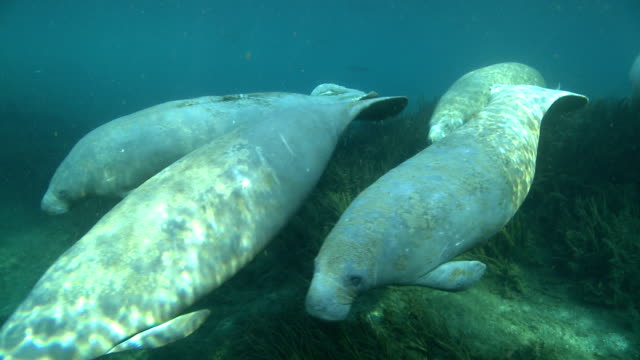 manatees swim along the weedy bed of a clear spring. - manatee stock videos & royalty-free footage