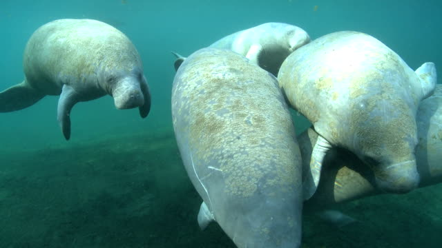 manatees swim in the clear waters of silver springs, florida. - lamantino video stock e b–roll
