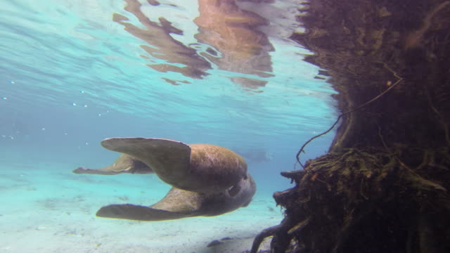 manatees swimming by sea plants underwater - everglades, florida - rundschwanzseekuh stock-videos und b-roll-filmmaterial