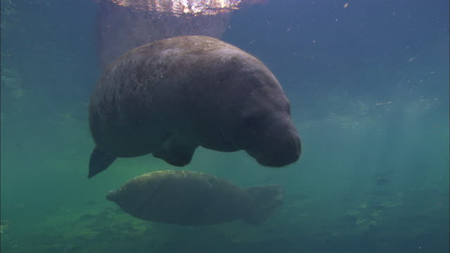manatees to camera, rolling swim by wide shot, stops rolling to take breath, florida, north atlantic ocean  - rundschwanzseekuh stock-videos und b-roll-filmmaterial