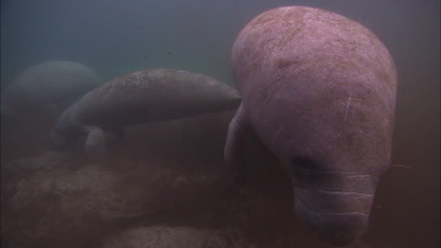 manatees walking, rises, florida, north atlantic ocean  - lamantino video stock e b–roll