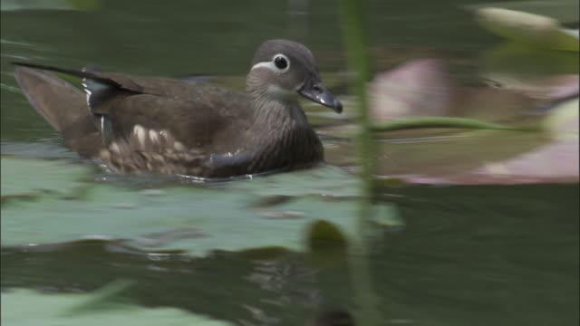 mandarin duck and ducklings swim amongst water lilies, beijing. - unschuld stock-videos und b-roll-filmmaterial