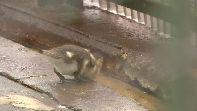 a mandarin duck chick waddles across its enclosure and sits in a little moat. - moat stock videos & royalty-free footage