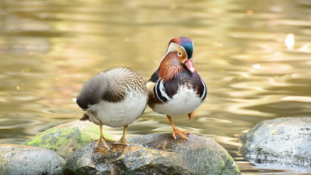 mandarin duck cleaning itself in the nature - two animals stock videos & royalty-free footage