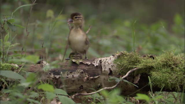 mandarin duck ducklings clamber over log in wood, uk - young bird stock videos & royalty-free footage