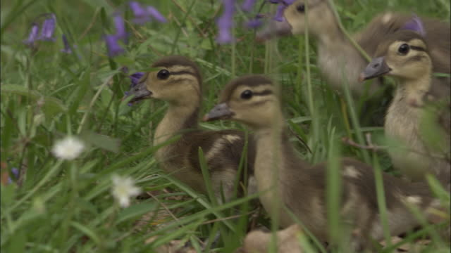 mandarin duck ducklings in wood, uk - vier tiere stock-videos und b-roll-filmmaterial