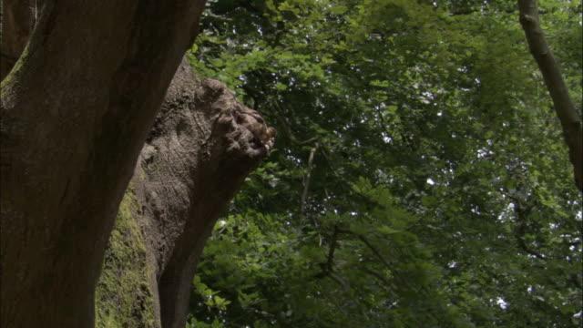 Mandarin duck ducklings leap from nest hole in tree, UK