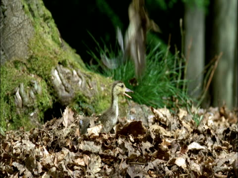 Mandarin duck ducklings (Aix galericulata) leap from nest hole in tree, UK