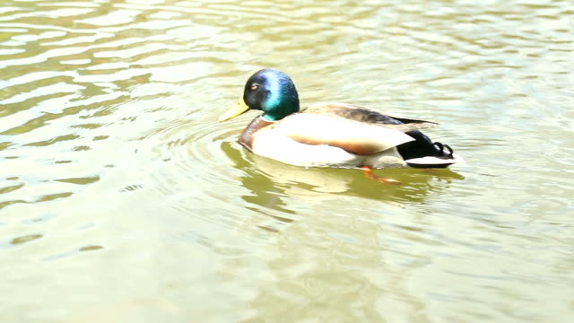 Mandarin duck swimming on the river