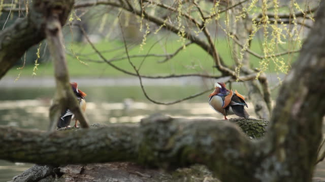 mandarin duck - aquatisches lebewesen stock-videos und b-roll-filmmaterial