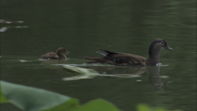 Mandarin duck with ducklings amongst water lilies, Beijing.