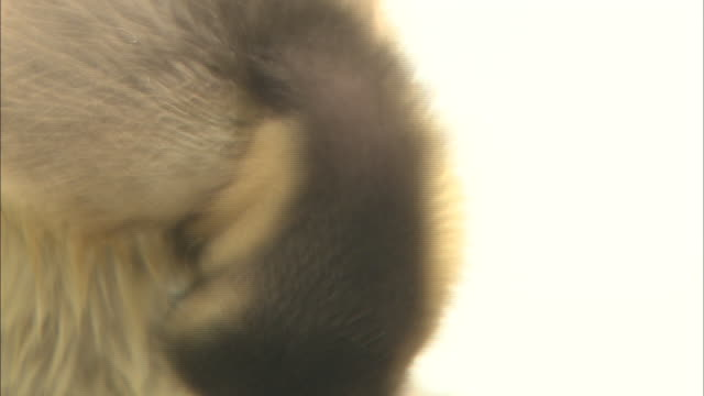 a mandarin duckling preens its wet feathers. - wet wet wet stock videos & royalty-free footage