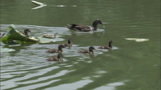 Mandarin ducklings follow mother across lake, Beijing.