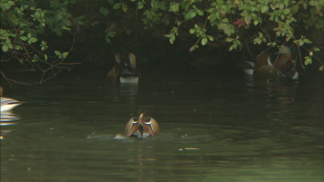 Mandarin ducks swimming on water  General view