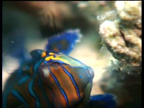 vídeos y material grabado en eventos de stock de cu mandarin fish feeding on coral, mabul, borneo, malaysia - patrones de colores