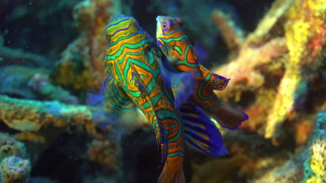 mandarin fish mating (indonesia) - saltwater fish stock videos & royalty-free footage
