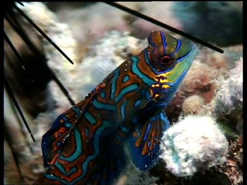 vídeos y material grabado en eventos de stock de mandarin fish swimming over seabed, mabul, borneo, malaysia - patrones de colores