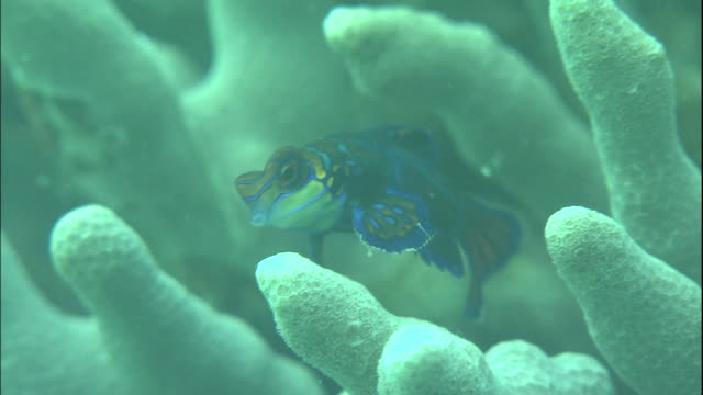 A mandarin fish swims between corals.