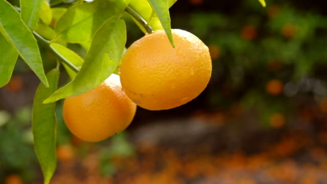 mandarin orange tree close-up - grove stock videos & royalty-free footage