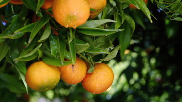 mandarin orange tree close-up - 果物点の映像素材/bロール