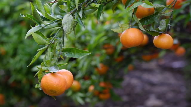 mandarin orange tree close-up - wäldchen stock-videos und b-roll-filmmaterial