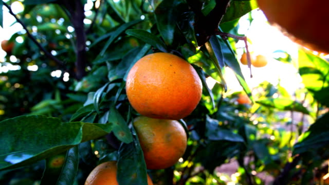 mandarin oranges during sunset a windy afternoon in valencia - citrus fruit stock videos & royalty-free footage