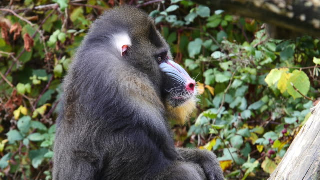 Mandrill, mandrillus sphinx, Portrait of Male, scratching its head, Real Time 4K