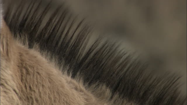 Mane of Przewalski's wild horse blows in wind, Kalamaili Nature Reserve, Xinjiang, China