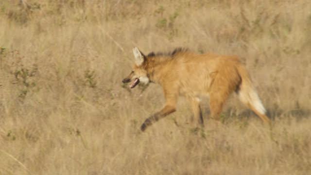 maned wolf (chrysocyon brachyurus) walks through grassland. - cerrado stock videos & royalty-free footage