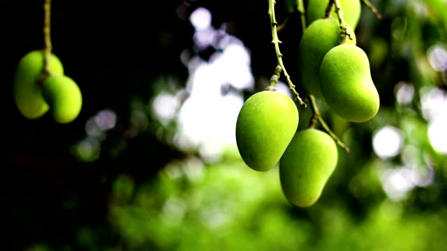 mango fruit garden - mango stock videos & royalty-free footage