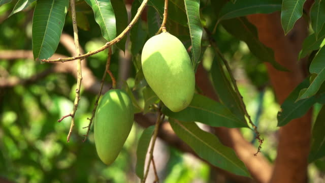 mango fruit tree - mango stock videos & royalty-free footage