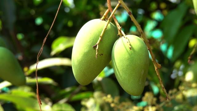 mango fruit - mango stock videos & royalty-free footage
