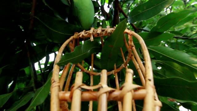 mango tree - mango stock videos and b-roll footage
