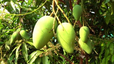 mango tree - mango fruit stock videos & royalty-free footage