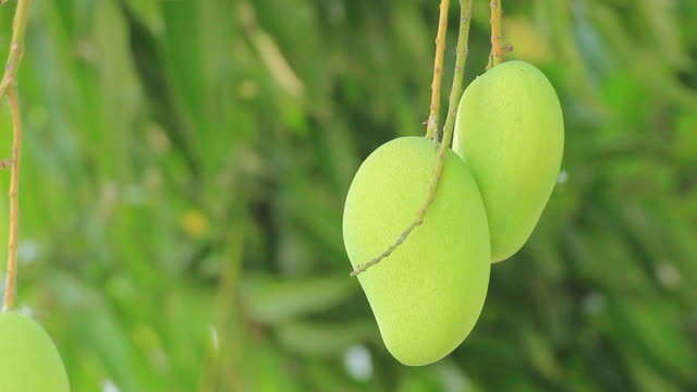 mangoes - mango stock videos & royalty-free footage