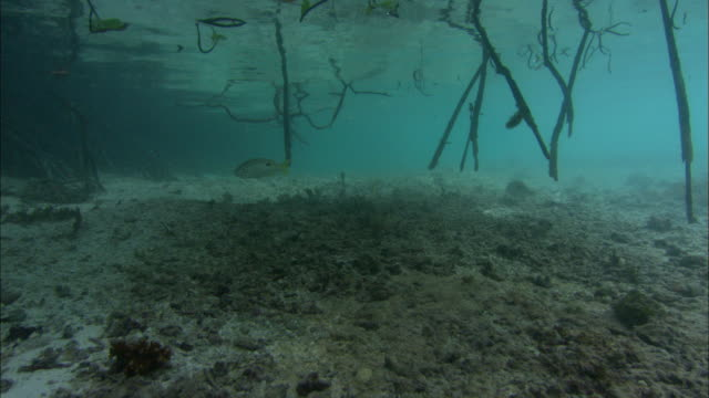 mangrove, aerial roots growing through sea, lagoon, underwater, aldabra, indian ocean  - lagoon stock videos and b-roll footage