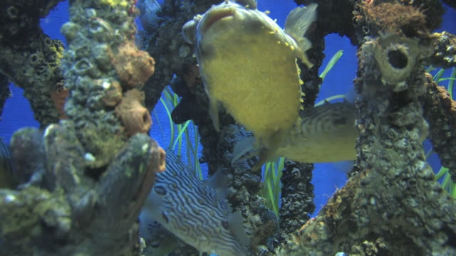 mangrove community 1 - hd 30f - balloonfish stock videos and b-roll footage