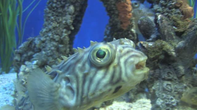mangrove community 2 - hd 30f - balloonfish stock videos and b-roll footage
