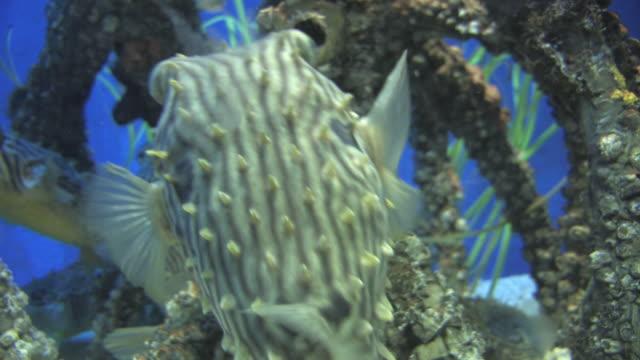 mangrove community 5 - hd 30f - balloonfish stock videos and b-roll footage