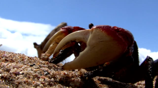 mangrove crab on beach - crab stock videos & royalty-free footage