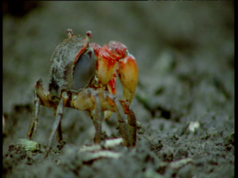 Mangrove crab scares off another crab, then begins to feed