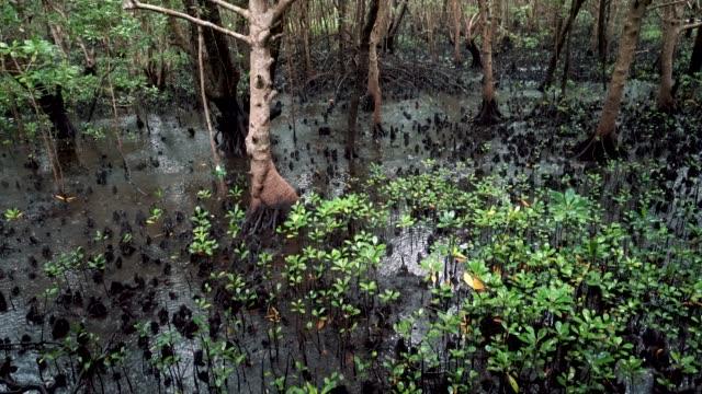 mangrove forest in zanzibar, tanzania, africa - mangrove tree stock videos & royalty-free footage