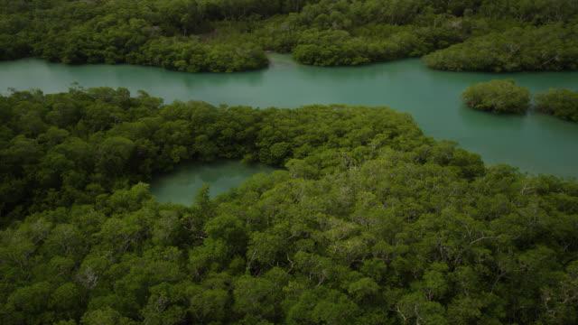 vídeos de stock e filmes b-roll de mangrove forest on caribbean coast, belize - árvore tropical
