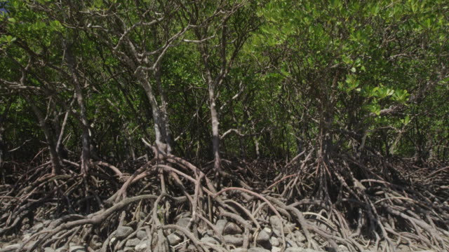 mangrove forest on rocky forest bed - mangrove tree stock videos & royalty-free footage