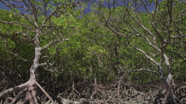 vídeos y material grabado en eventos de stock de mangrove forest on sunny day - raíz