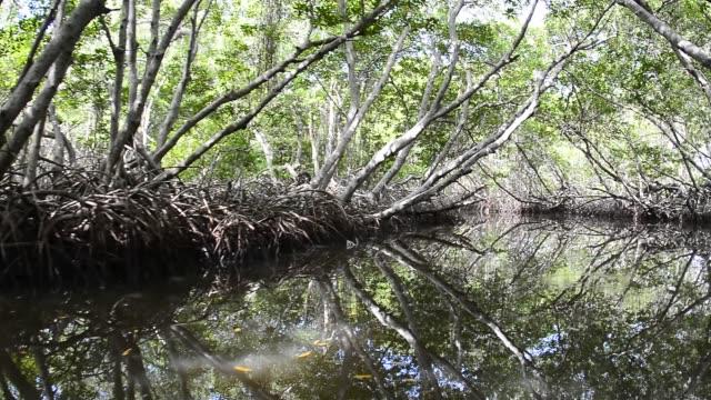 mangrove forest. - tropiskt träd bildbanksvideor och videomaterial från bakom kulisserna