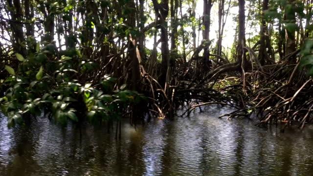 vidéos et rushes de forêt de mangrove - bras mort de cours d'eau